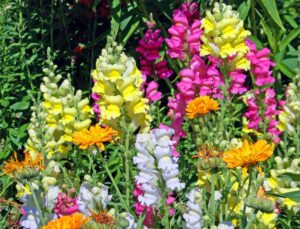 Snapdragon Annuals